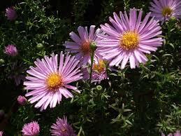 Hvězdnice keříčkovitá - Aster dumosus - světle růžová
