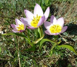 Tulipán botanický skalní - Tulipa saxatilis