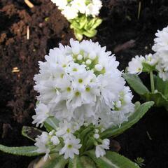 Prvosenka zoubkatá 'Weisse Auslese' - Primula denticulata 'Weisse Auslese'
