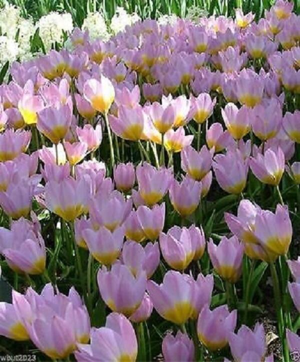 Tulipán botanický Bakerův 'Lilac Wonder' - Tulipa bakeri 'Lilac Wonder'