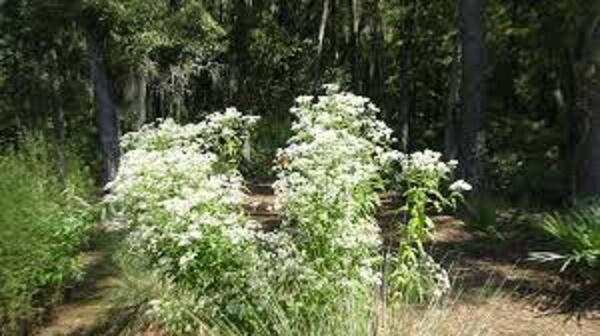 Sadec prorostlý - Eupatorium perfoliatum
