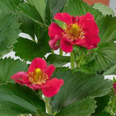Jahodník stáleplodící 'Ariba Red' F1 - Fragaria ananassa 'Ariba Red' F1