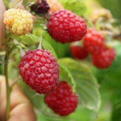 Maliník remontantní 'Ottawa' - Rubus idaeus 'Ottawa'