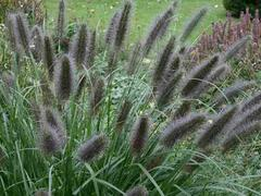 Dochan psárkovitý 'Black Beauty' - Pennisetum alopecuroides 'Black Beauty'