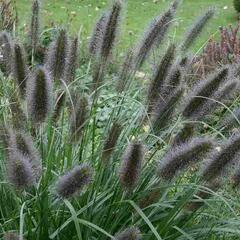Dochan psárkovitý 'Black Beauty' - Pennisetum alopecuroides 'Black Beauty'