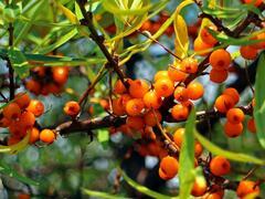 Rakytník řešetlákový samosprašný 'Friesdorfer Orange' - Hippophae rhamnoides 'Friesdorfer Orange'