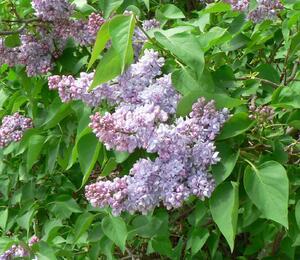 Šeřík obecný 'Emilie Lemoine' - Syringa vulgaris 'Emilie Lemoine'