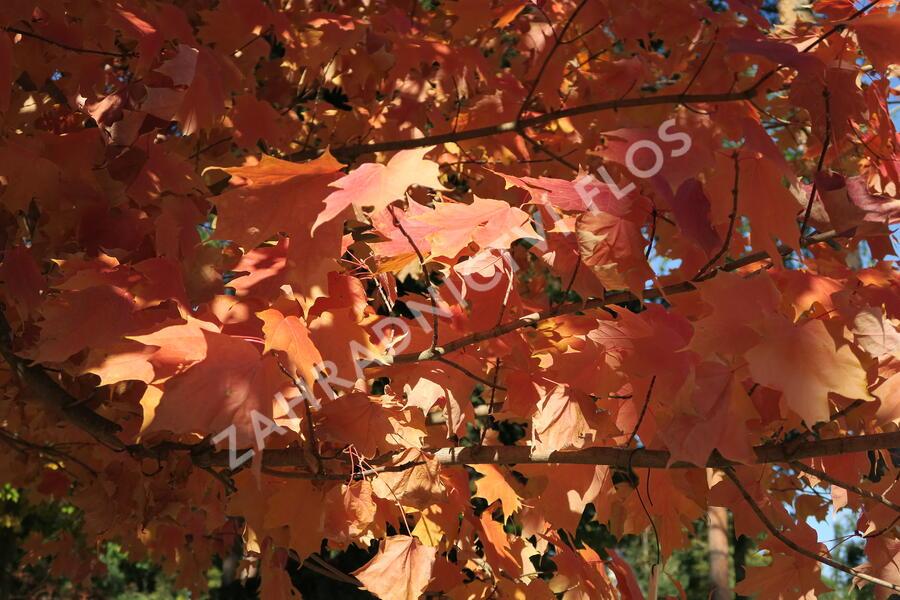 Javor stříbrný - Acer saccharinum