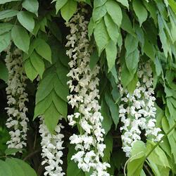 Vistárie čínská 'Texas White' - Wisteria sinensis 'Texas White'