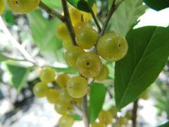 Hlošina okoličnatá 'Fortunella' - Elaeagnus umbellata 'Fortunella'
