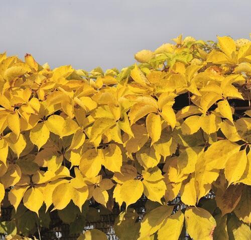 Přísavník pětilistý, loubinec 'Yellow Wall' - Parthenocissus quinquefolia 'Yellow Wall'