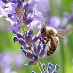 Rostliny pro včely