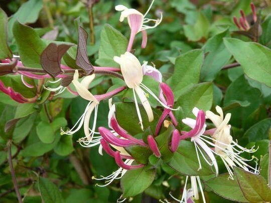 Zimolez japonský 'Chinensis' - Lonicera japonica 'Chinensis'