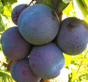 Slivoň 'Melitopolski' - Prunus 'Melitopolski'