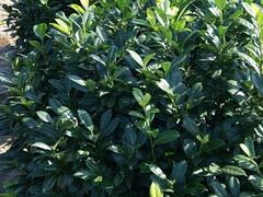 Bobkovišeň lékařská 'Gabi' - Prunus laurocerasus 'Gabi'