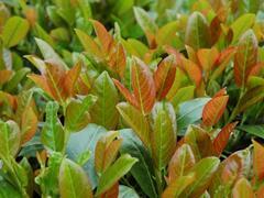 Bobkovišeň lékařská 'Titan' - Prunus laurocerasus 'Titan'