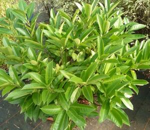 Bobkovišeň lékařská 'Green Planet' - Prunus laurocerasus 'Green Planet'