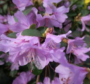 Pěnišník raný - Rhododendron 'Praecox'