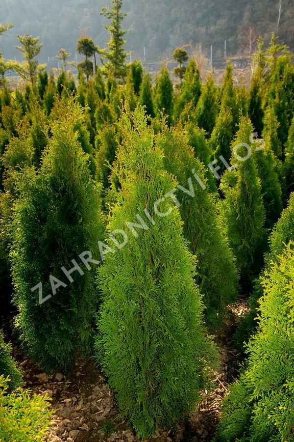 Zerav západní 'Smaragd' - Thuja occidentalis 'Smaragd'