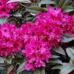 Pěnišník 'Marie Forte' - Rhododendron (T) 'Marie Forte'
