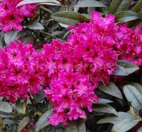 Pěnišník 'Marie Fortie' - Rhododendron (T) 'Marie Fortie'