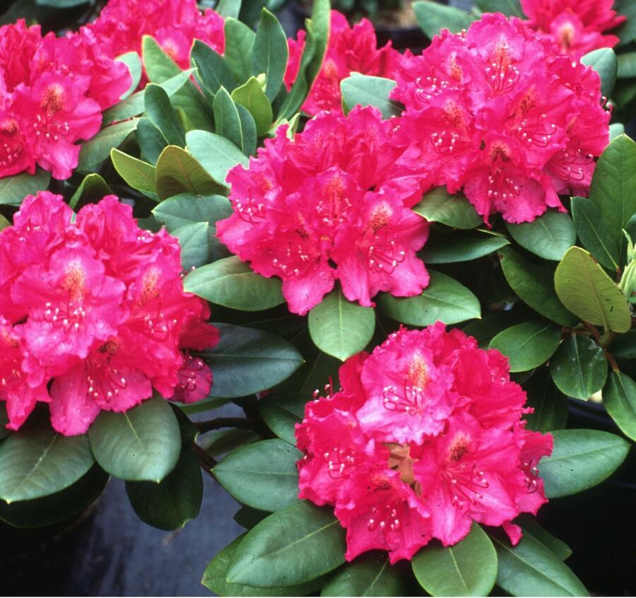 Pěnišník 'P. A. Beauty' - Rhododendron 'P. A. Beauty'