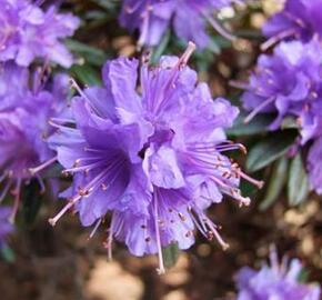 Pěnišník obtížený 'Select' - Rhododendron impeditum 'Select'