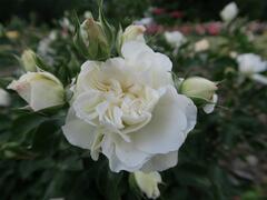 Růže mnohokvětá 'White Meidilland' - Rosa MK 'White Meidilland'