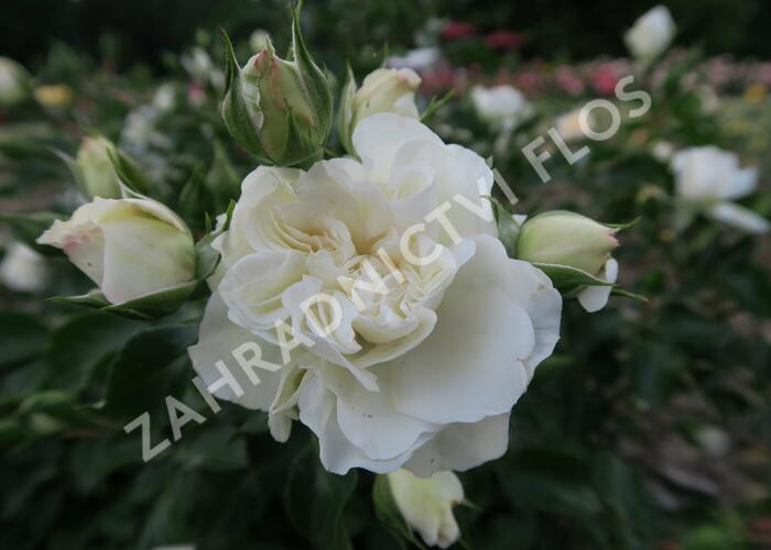 Růže mnohokvětá Meilland 'White Meidilland' - Rosa MK 'White Meidilland'