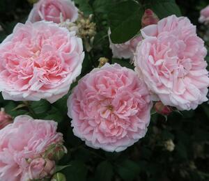 Anglická růže Davida Austina 'Eglantyne' - Rosa S 'Eglantyne'