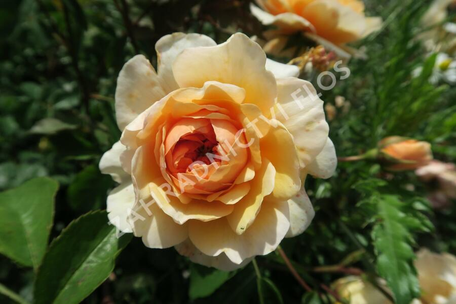 Anglická růže Davida Austina 'Port Sunlight' - Rosa S 'Port Sunlight'