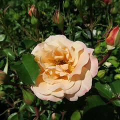 Růže půdopokryvná Kordes 'Cubana' - Rosa PK 'Cubana'