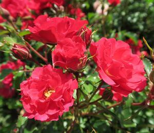 Růže mnohokvětá Kordes 'Rotilia' - Rosa MK 'Rotilia'