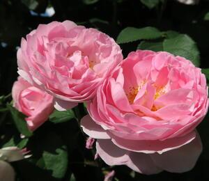 Anglická pnoucí růže Davida Austina 'Constance Spry' - Rosa PN 'Constance Spry'