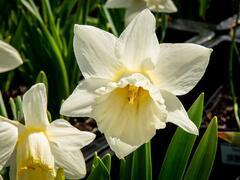 Narcis trubkovitý 'Mount Hood' - Narcissus Trumpet 'Mount Hood'