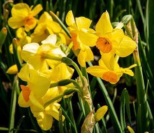 Narcis Tazetta 'Martinette' - Narcissus Tazetta 'Martinette'