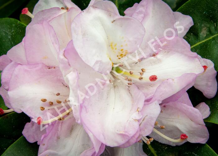 Pěnišník 'Gomer Waterer' - Rhododendron (T) 'Gomer Waterer'