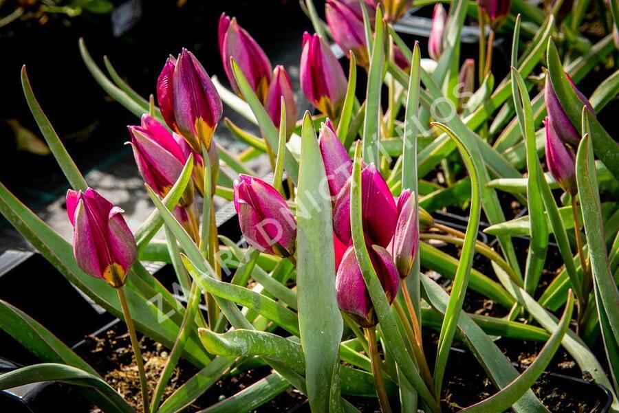 Tulipán 'Odalisque' - Tulipa humilis 'Odalisque'