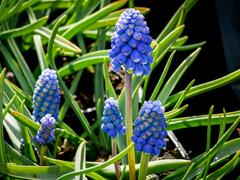 Modřenec arménský 'Atlantic' - Muscari armeniaca 'Atlantic'