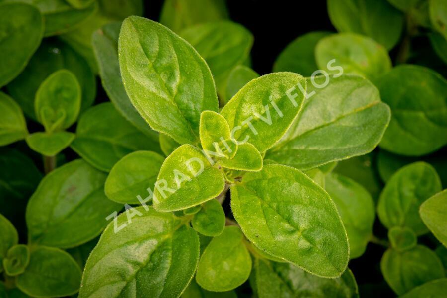 Dobromysl obecná 'Margeritha' - Origanum vulgare 'Margeritha'
