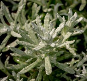 Smil italský 'Silvio Bushy' - Helichrysum italicum 'Silvio Bushy'
