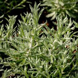 Smil italský 'Silvio Moundy' - Helichrysum italicum 'Silvio Moundy'