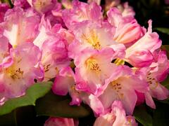 Pěnišník 'Eucharities' - Rhododendron (T) 'Eucharities'
