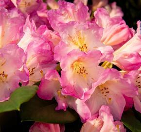 Pěnišník 'Eucharities' - Rhododendron (T) 'Eucharities'