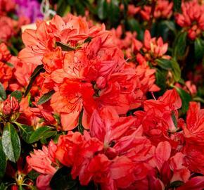 Azalka japonská 'Orange Beauty' - Azalea japonica 'Orange Beauty'