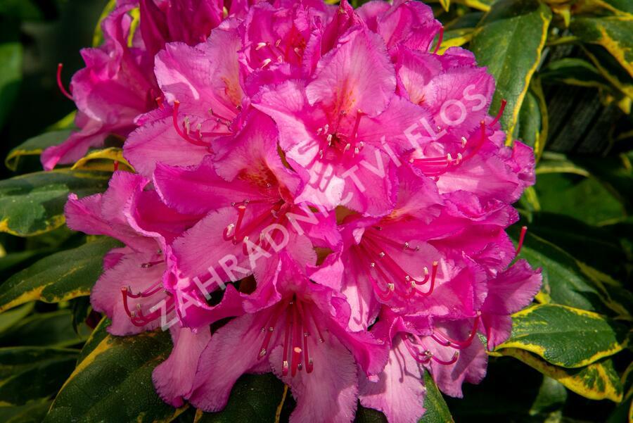 Pěnišník 'Miss Millie' - Rhododendron 'Miss Millie'