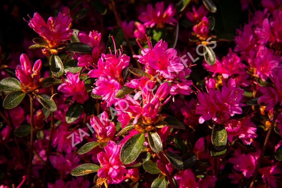 Azalka japonská 'Amoena' - Azalea japonica 'Amoena'