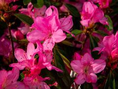 Azalka japonská 'Gilbert Mullie' - Azalea japonica 'Gilbert Mullie'