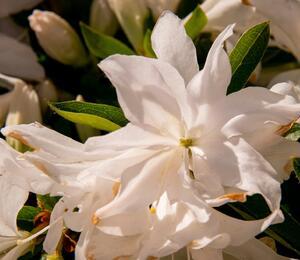 Azalka japonská 'Mémé' - Azalea japonica 'Mémé'