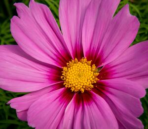 Kosmos, krásenka 'Cosmini Pink' - Cosmos bipinnatus 'Cosmini Pink'